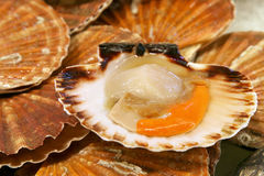 Scallops Stock Images