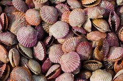 Scallops. Close-up for scallops in the seafood market stock images