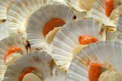 Scallops Royalty Free Stock Photo