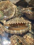 scallops стоковая фотография rf