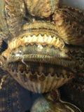 scallops Стоковые Фото