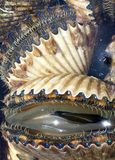 scallops Стоковая Фотография