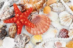 A scallops collection and a red starfish Stock Photos