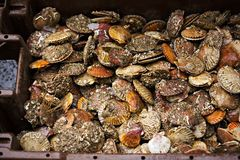 Scallops in container on seafood market.  Royalty Free Stock Photos