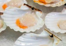 Scallops crus no gelo Foto de Stock Royalty Free