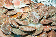 Scallops at the fish market Stock Images