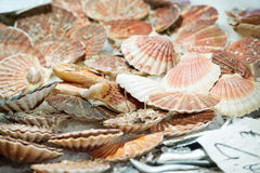 Scallops at the fish market Royalty Free Stock Photography