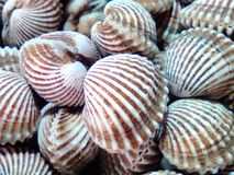 Scallops Royalty Free Stock Photography