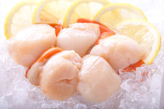 Scallops on ice with lemon. Fresh scallops raw on ice with coral intact. Lemon in background as garnish royalty free stock images
