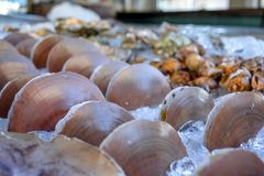 Scallops are on ice for people to eat. Royalty Free Stock Photo