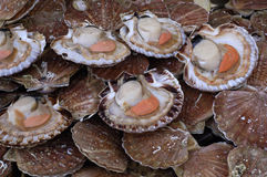 Scallops at the market Royalty Free Stock Photo