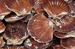 Scallops at the market Stock Image