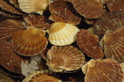 Scallops at the market Stock Images