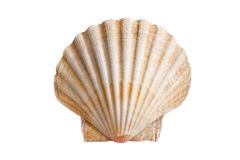 Scallops shell Royalty Free Stock Image