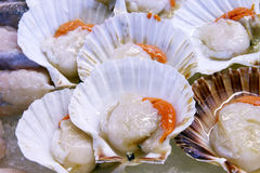 Scallops in the shell Royalty Free Stock Photos