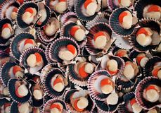 Scallops on shell background, sea food concept pattern. Multiple fresh scallops on shell background, sea food concept pattern royalty free stock photos
