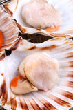 Scallops in a shell during preparation. Atlantic scallops in a shell during preparation Stock Image