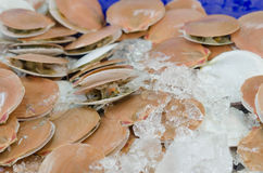 Scallops Stock Photo