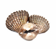 Scallops shell  on  white background Royalty Free Stock Photography