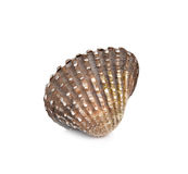 Scallops on  white background Stock Image