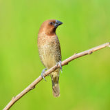 Scally-breasted Munia bird Royalty Free Stock Photos