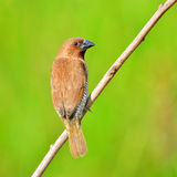 Scally-breasted Munia bird Royalty Free Stock Image