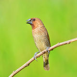 Scally-breasted Munia bird Stock Photo