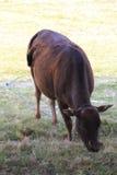 Scalper je trawy Zdjęcia Stock
