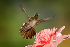 Scaly-breasted hummingbird, Phaeochroa cuvierii, with orange crest and collar in the green and violet flower habitat. Bird flying. Next to pink flower, clear stock image