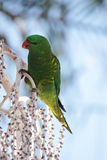 Scaly-breasted Lorikeet. (Trichoglossus chlorolepidotus) sitting on a tree and feeding in Australia Stock Photography