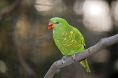 Scaly-breasted lorikeet Royalty Free Stock Images