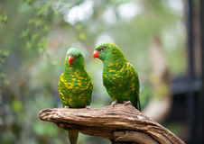 Scaly-breasted Lorikeet Stock Photography