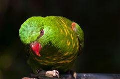 Scaly-breasted Lorikeet Royalty Free Stock Photo