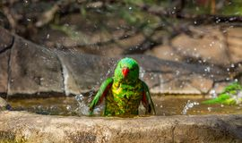 Scaly-breasted lorikeet splashing the water royalty free stock image