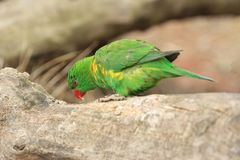 Scaly-breasted lorikeet. On the wood Royalty Free Stock Images