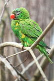 Scaly-breasted lorikeet Royalty Free Stock Photography