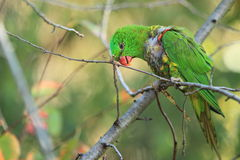 Scaly-breasted lorikeet. Sitting on the branch Stock Image