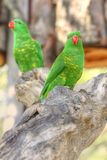 Scaly-breasted Lorikeet Stock Photos