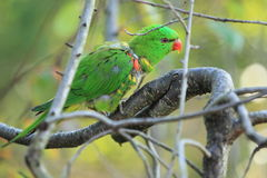 Scaly-breasted lorikeet. On the tree Stock Photo