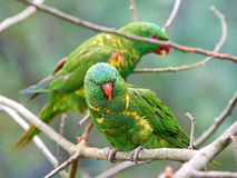 Scaly-breasted lorikeet (Trichoglossus chlorolepidotus) Stock Image