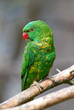Scaly-breasted lorikeet (Trichoglossus chlorolepidotus) Royalty Free Stock Photos
