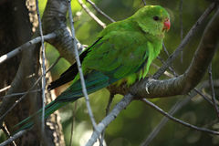 Scaly-breasted lorikeet (Trichoglossus chlorolepidotus) Royalty Free Stock Images
