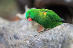 Scaly-breasted lorikeet. On the wood Stock Photography