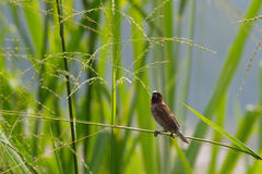 Scaly-breasted Munia-1. A Scaly-breasted Munia in paddy field stock images