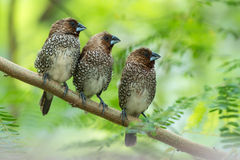 Scaly-breasted Munia Royalty Free Stock Photos