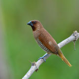 Scaly-breasted Munia bird. Beautiful bird, Scaly-breasted Munia bird (lonchura punctulata) perching on a branch, Thailand Stock Photos