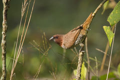 Scaly-breasted munia bird in Nepal Stock Images