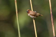 Scaly-breasted munia bird in Nepal Stock Photos