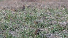 Scaly-breasted Munia birds resting on the floor after eating stock video footage