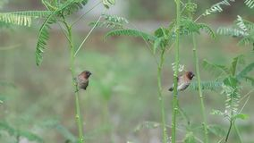 Scaly-breasted munia are catching on the plant. Two scaly-breasted munia are catching on the plant and both are flying away stock video